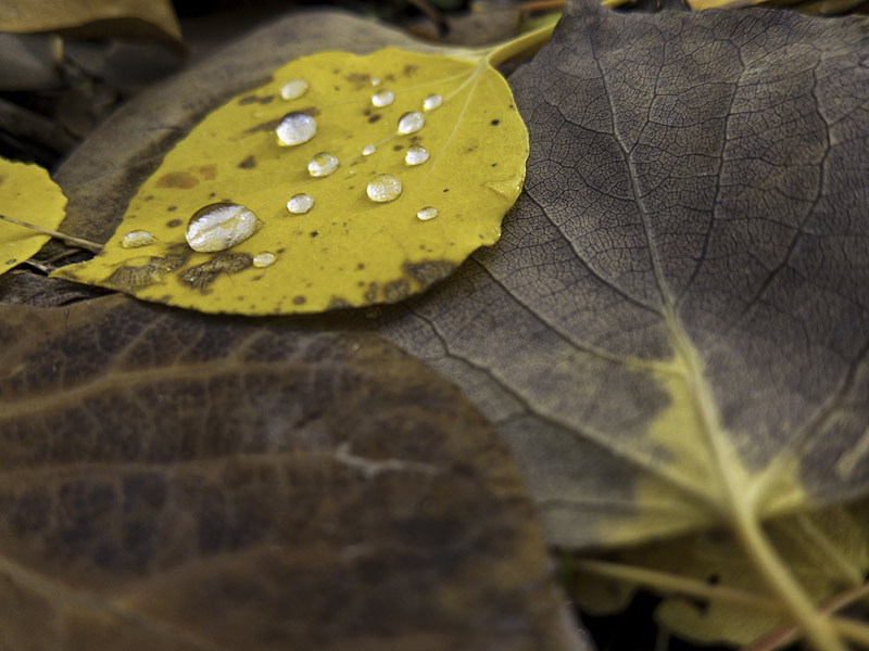 Raindrops on Aspen Leaf, Utah